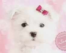 Cuddling Teacup Maltese for Sale