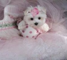 Maltese Puppy and Cute Things About Them