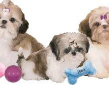 Loving Teacup shih tzu