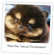 What People Should Know About Teacup Pomeranian