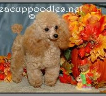 Owning Teacup Poodles