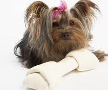 Cute and Petite Teacup Yorkie