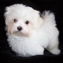 Teacup Maltese Facts: All Pet Owners Must Know