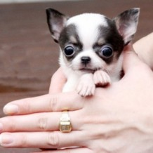 Knowing Teacup Chihuahua Breed