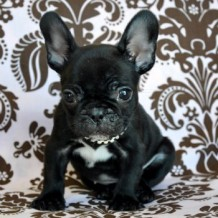 Things People Should Know About Teacup French Bulldog