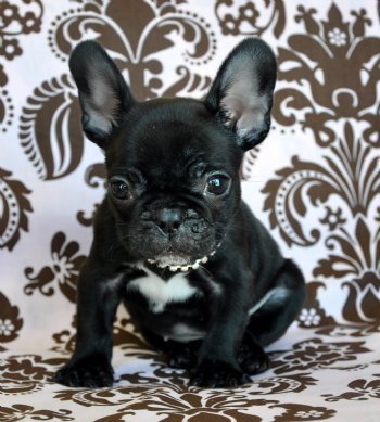 Things People Should Know About Teacup French Bulldog Teacup
