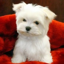 Teacup Maltipoo Puppies for Sale: Things to Consider