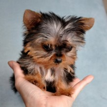 When Owning Micro Teacup Puppies, Consider…